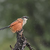 White-browed Coucal in the rain