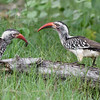 Southern Red-billed Hornbill parent and juvenile