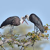 Woolly-necked Storks, pair bonding