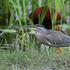Green-backed Heron, aka Striated Heron
