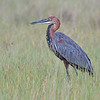 Goliath Heron  (world's largest heron)