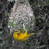Holub's Golden Weaver at nest