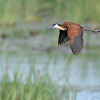 African Jacana in flight