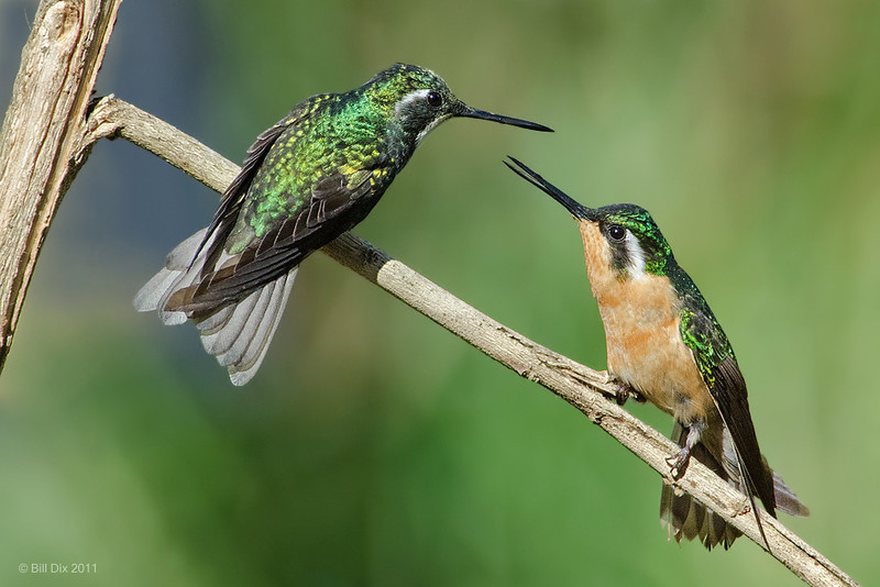 White-throated Mountain Gem pair