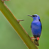 Red-legged Honeycreeper, male