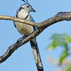 White-throated Magpie Jay