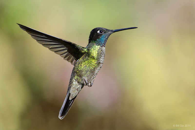 Talamanca Hummingbird (fmr. Magnificent Hummingbird) flight