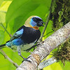 Golden-hooded Tanager at nest