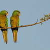 Olive-throated Parakeet pair