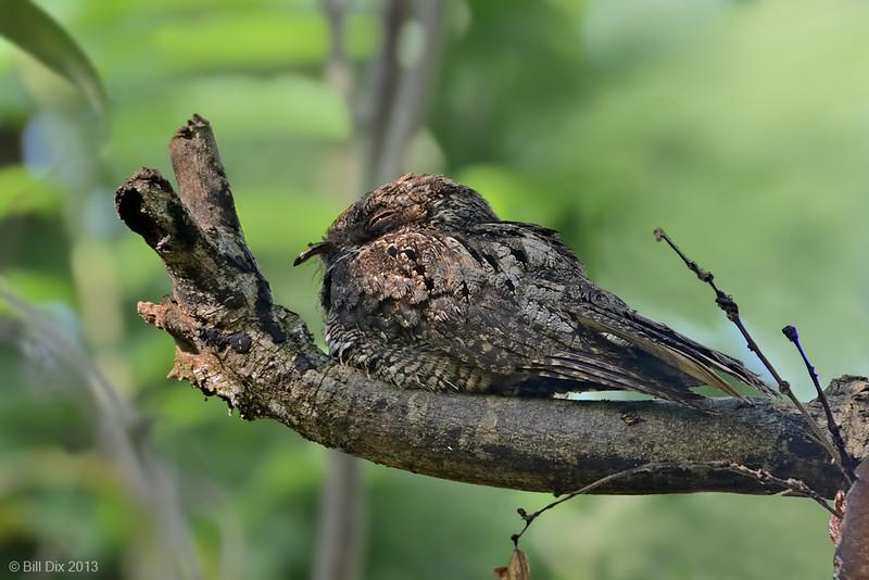 Cuban Nightjar (aka Greater Antillean Nightjar)