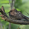 Cuban Nightjar (aka Greater Antillean Nightjar)