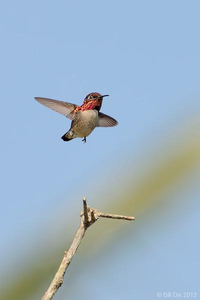Bee Hummingbird (world's smallest bird)