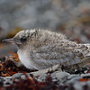 Arctic Tern chick, close-up