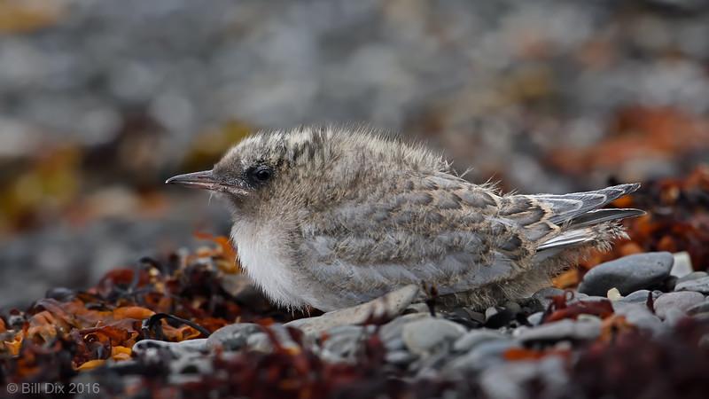 Arctic Tern chick, close-up