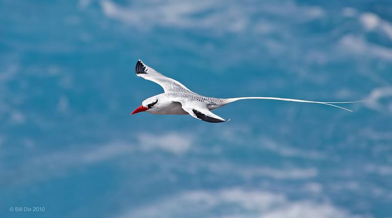 Red-billed Tropicbird in flight