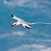 Red-billed Tropicbird in flight