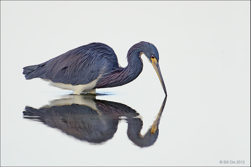 Tricolored Heron  [Audubon Photo Awards Top 100]