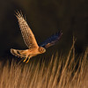 Northern Harrier juvenile