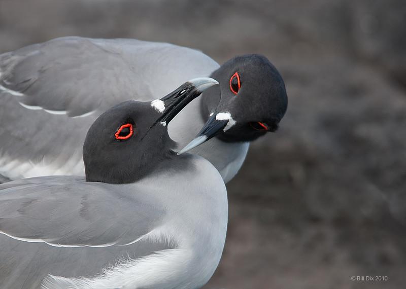 Swallow-tailed Gull pair, preening