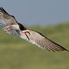 Black Skimmer attacking