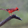 Northern Cardinal in the rain