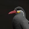 Inca Tern Portrait