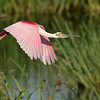Roseate Spoonbill over pond