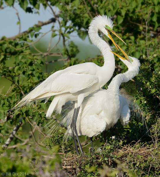 Great Egrets courting