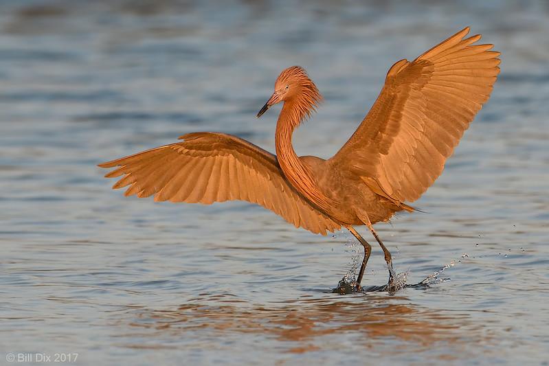 Reddish Egret landing