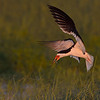 Black Skimmer at Last Light