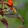 Rufous-breasted Hermit on Kohleria Tubiflora