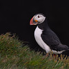Atlantic Puffin against Latrabjarg Cliff