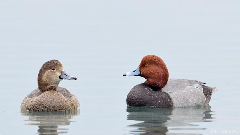 Redhead Pair