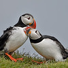 Atlantic Puffins Allopreening