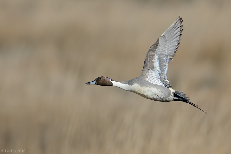 Northern Pintail in flight