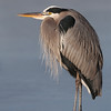 Great Blue Heron on ice