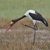 Saddle-billed Stork male, scratching