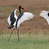 Saddle-billed Stork courtship