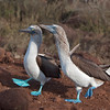 Blue-footed Boobies, courtship dance
