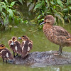 White-cheeked Pintail Duck hen and chicks