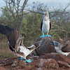 Blue-footed Booby courtship contest
