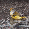 Yellow (Mangrove)  Warbler