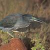 Lava Heron hunting