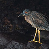 Yellow-crowned Night Heron, juvenile