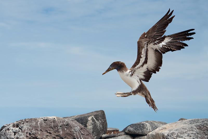 Nazca Booby juvenile, first flight