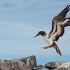 Nazca Booby juvenile, first flight