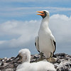 Nazca Booby parent and chick