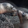 Galapagos Sea Lion parent and child