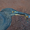 Lava Heron with prey