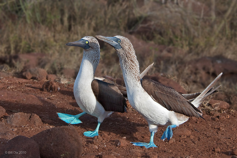 Blue-footed Booby courtship dance